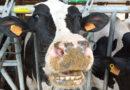 Can Gel-Visita a la Granja de Vacas Lecheras